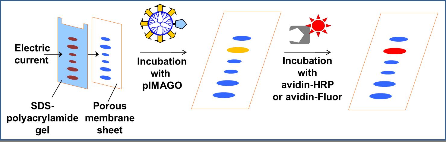 pIMAGO-WB-procedure